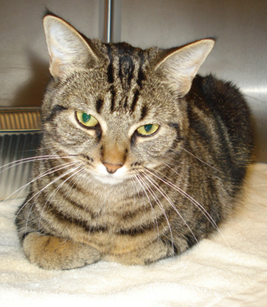 valverde is a 1 year old very sweet tiger cat waiting for her new