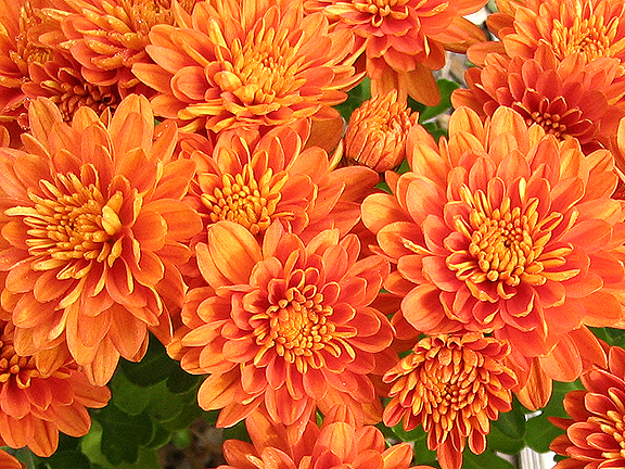 Cut back chrysanthemums now for more fall blooms for Popular fall flowers