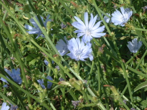 chicory close.jpg