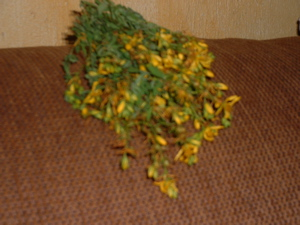 st johns wort picked.jpg