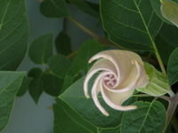 Thumbnail image for wiernik moonflower.JPG