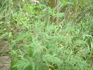 Wildcrafting: A weed to identify and remove, and one to appreciate