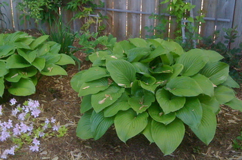 Borden - hosta in the garden for the MG description