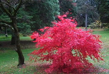 Borden - Red tree at Kripalu