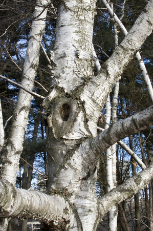 Michigan Birch tree in winter