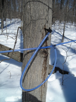 Borden - plastic lines running from maple trees