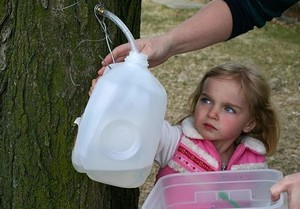 Mayrend-Gabby_collecting_Maple_sap.jpg