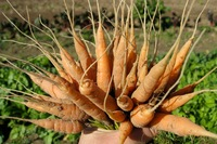 Borden - Bayer's carrot bouquet