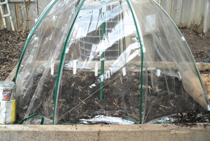 Borden - Lettuce seeds under plastic