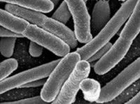 Thumbnail image for e. coli 04.1810.jpg
