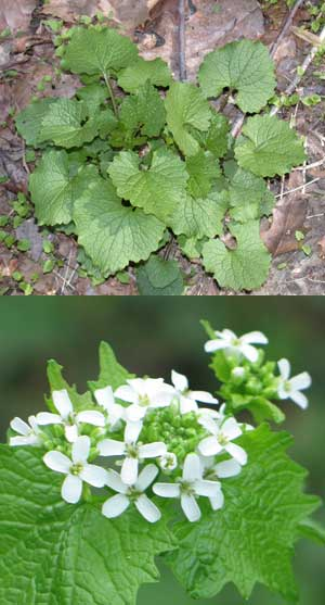 nps-gov-garlic-mustard.jpg