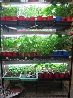Seedlings-Indoors-May.jpg
