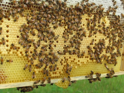 the inside buzz on the ann arbor backyard beekeepers