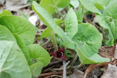 wild ginger flower.JPG