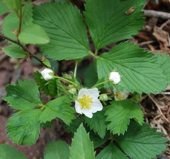wild strawberry2-crop.jpg