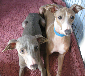 Adult_Whippets_3.jpg