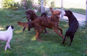 Dogs-fighting-or-playing-two