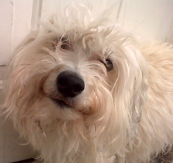 Thumbnail image for dog, white, face