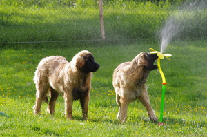 Leonberger-Puppies-Playing-in-a-Sprinkler