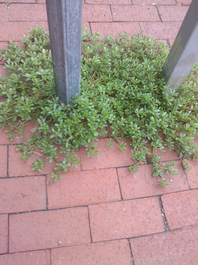 Growing Purslane How To Grow Edible Purslane In The Garden: Wildcrafting: Purslane Is Easy To Grow And Easy To Find