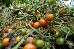 Growing hope tomatoes.jpg