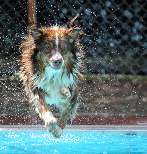 Dogs Will Have Their Day This Week As Buhr Park Outdoor Pool Hosts Annual Swim
