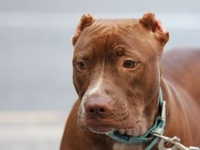 red_nose_pitbull-t2.jpg