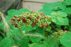 spikenard-unripe berries.JPG