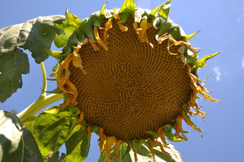 Borden - sunflower head