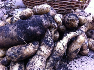 Borden - potatoes from the ground