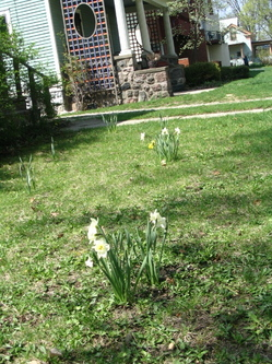 Thumbnail image for daffodilsinlawn.JPG