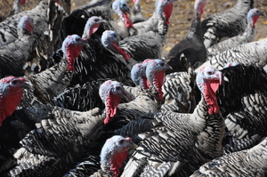 Borden - Narrangansett Turkeys