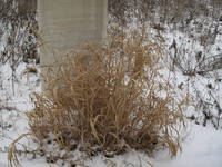 grass in snow.jpg