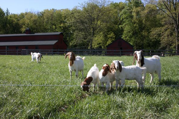 BayerJan2011.CapellaGoats.jpg