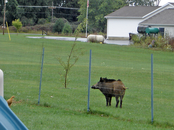 Feral-pig-Washtenaw-county-in-yard.jpg