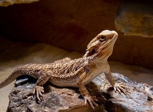 Alexander-March-2011-BeardedDragon.jpg