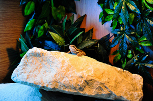 Alexander-March-2011-BeardedDragonBasking.jpg