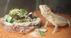 Alexander-March-2011-BeardedDragonGreens.jpg