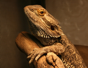 Alexander-March-2011-BeardedDragon2.jpg