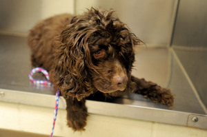 040711-AJC-cocker-spaniels-abandoned-salem-township-02.JPG