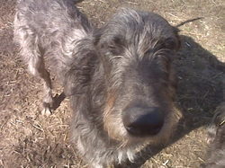 deerhound1.jpg