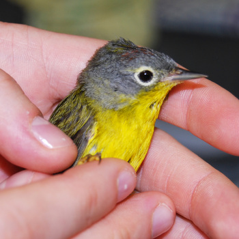 053011_nashville_warbler_bird_center_injured.jpg