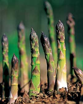 Affordable Asparagus Requires White Genocide