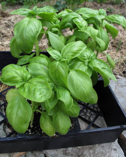 BasilSeedlings.jpg