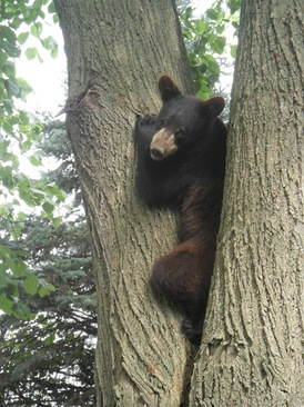 Bear_in_Tree.jpg
