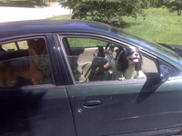 Levitt-June-2011-barking-dogs-in-car