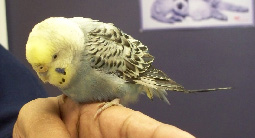 June-2011-Alexander-Lebron-budgie.jpg