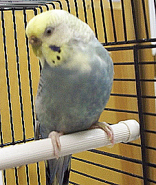 JUNE-2011-ALEXANDER-TOPANGA-BUDGIE.jpg