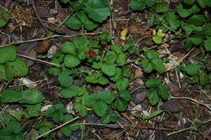 barren-strawberry-plant.JPG