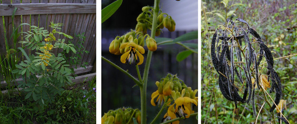 wild-senna-collage.jpg